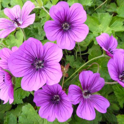 Geranium wallichianum 'Hexham Velvet' - Ooievaarsbek - Geranium wallichianum 'Hexham Velvet'