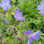 Geranium 'Johnson's Blue' - Ooievaarsbek