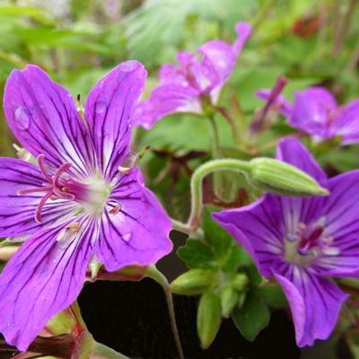 Geranium wlassovianum 'Lakwijk Star' -