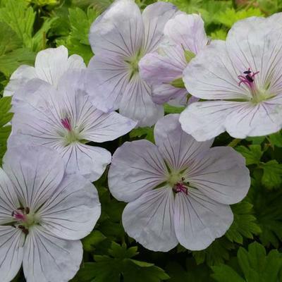 Geranium 'Lilac Ice' - Ooievaarsbek - Geranium 'Lilac Ice'