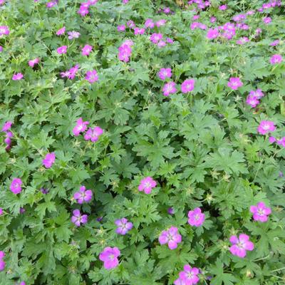 Geranium 'Orkney Pink' -