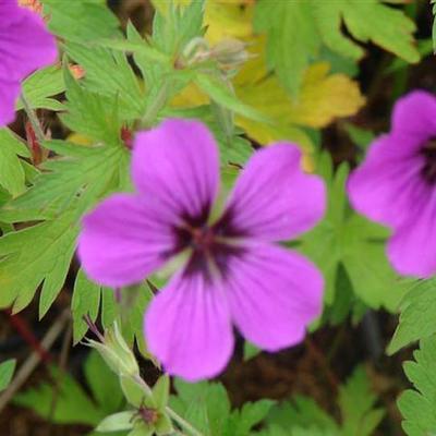 Geranium 'Patricia' - Ooievaarsbek - Geranium 'Patricia'