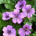 Ooievaarsbek - Geranium 'Pink Penny'