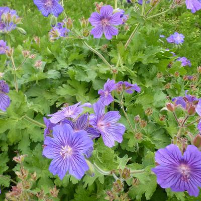 Geranium 'Sabani Blue'       -