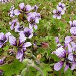 Geranium 'Salomé' - Ooievaarsbek - Geranium 'Salomé'