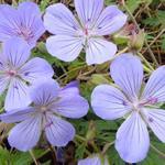 Geranium 'Sue Crug' - Ooievaarsbek - Geranium 'Sue Crug'