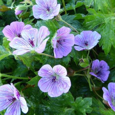 Geranium 'Sweet Heidy' - Ooievaarsbek - Geranium 'Sweet Heidy'