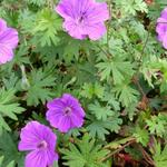 Geranium 'Tiny Monster' - Ooievaarsbek - Geranium 'Tiny Monster'