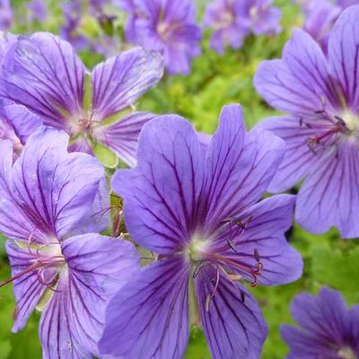 Geranium ibericum - Ooievaarsbek - Geranium ibericum