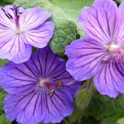 Geranium platypetalum 'Turco' -