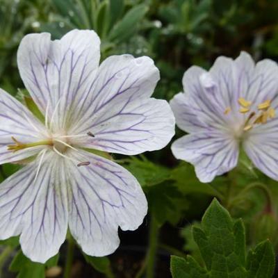 Geranium ibericum 'White Zigana' -