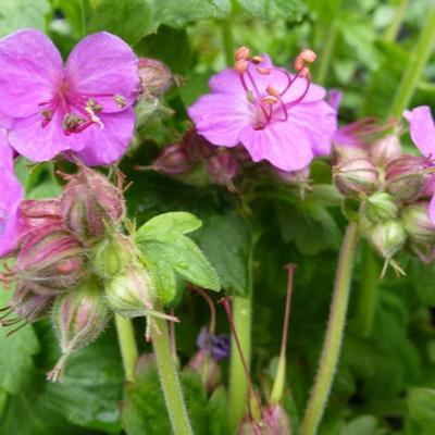 Geranium macrorrhizum 'Bevan's Variety' -