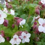 Geranium macrorrhizum 'Spessart' - Ooievaarsbek - Geranium macrorrhizum 'Spessart'