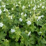Geranium macrorrhizum 'White Ness' - Ooievaarsbek - Geranium macrorrhizum 'White Ness'