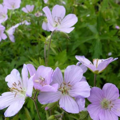 Geranium maculatum -