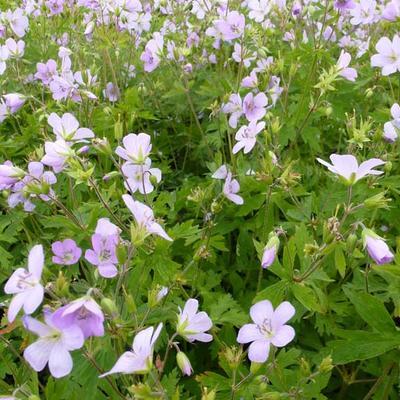 Geranium maculatum 'Chatto' - Ooievaarsbek - Geranium maculatum 'Chatto'