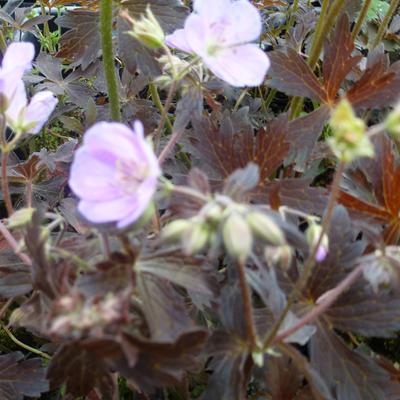Geranium maculatum 'Elizabeth Ann' - Ooievaarsbek - Geranium maculatum 'Elizabeth Ann'