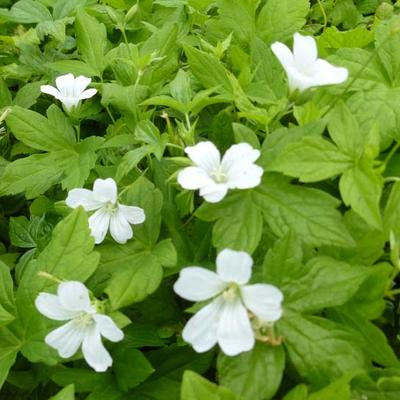 Geranium nodosum 'Silverwood' - Ooievaarsbek - Geranium nodosum 'Silverwood'
