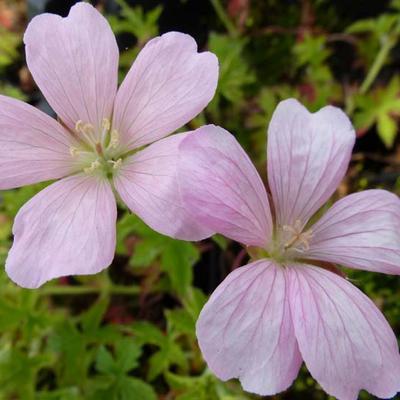 Geranium x oxonianum 'Frank Lawley' -