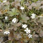 Ooievaarsbek - Geranium sessiliflorum 'Sanne'