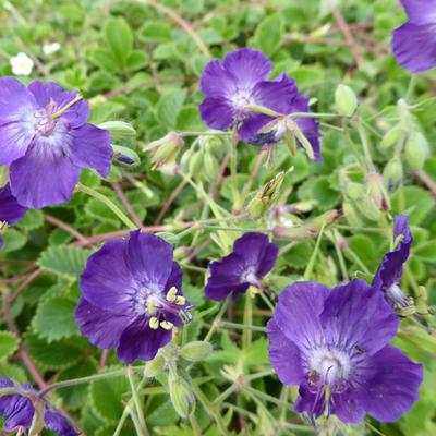 Geranium phaeum 'Lily Lovell' - Ooievaarsbek - Geranium phaeum 'Lily Lovell'
