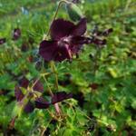 Ooievaarsbek - Geranium phaeum 'Mourning Widow'