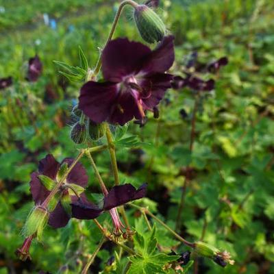Geranium phaeum 'Mourning Widow' - Ooievaarsbek - Geranium phaeum 'Mourning Widow'