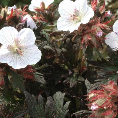 Geranium pratense 'Black 'n White Army' - Ooievaarsbek - Geranium pratense 'Black 'n White Army'