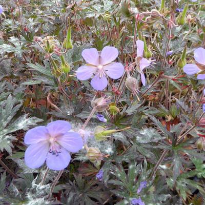 Geranium pratense 'Hocus Pocus' - Beemdooievaarsbek - Geranium pratense 'Hocus Pocus'