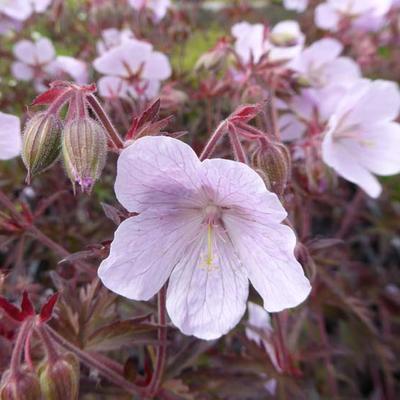 Geranium pratense 'Marshmallow' -