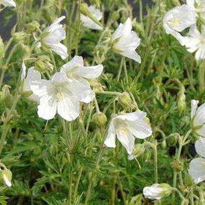 Geranium pratense var. pratense f. albiflorum 'Silver Queen' -