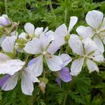 Geranium pratense 'Splish-splash' - Ooievaarsbek - Geranium pratense 'Splish-splash'