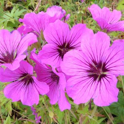 Geranium psilostemon - Ooievaarsbek - Geranium psilostemon