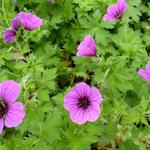 Geranium psilostemon 'Bressingham Flair' - Ooievaarsbek - Geranium psilostemon 'Bressingham Flair'
