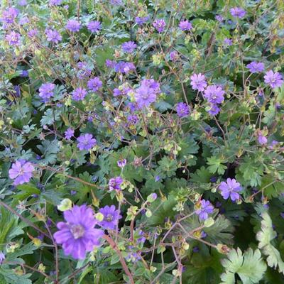 Geranium pyrenaicum 'Bill Wallis' -