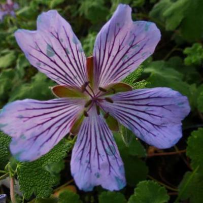 Geranium Renardii 'Zetterlund' -