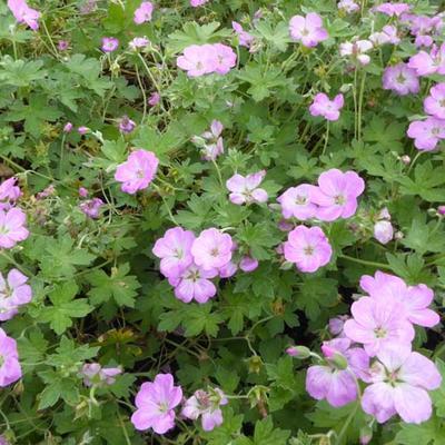 Geranium x riversleaianum  'Mavis Simpson' - Ooievaarsbek - Geranium x riversleaianum  'Mavis Simpson'