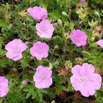 Ooievaarsbek - Geranium sanguineum 'Ankum's Pride'