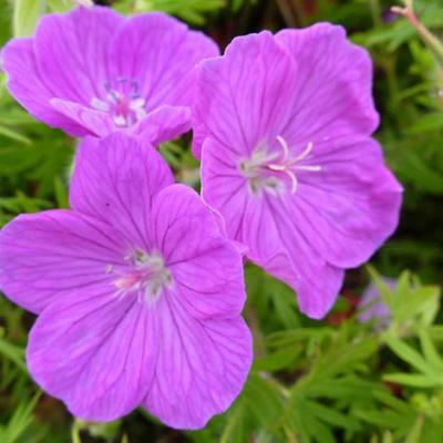 Geranium sanguineum 'Cedric Morris' - Ooievaarsbek - Geranium sanguineum 'Cedric Morris'