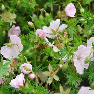 Geranium sanguineum 'Compactum' - Ooievaarsbek - Geranium sanguineum 'Compactum'