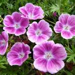 Ooievaarsbek - Geranium sanguineum 'Elke'