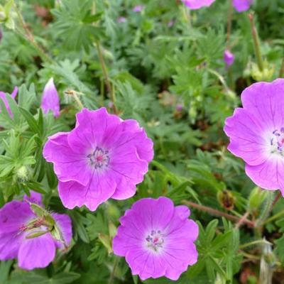 Geranium sanguineum 'Elsbeth' - Ooievaarsbek - Geranium sanguineum 'Elsbeth'
