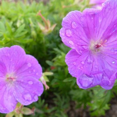 Geranium sanguineum 'Glenluce -