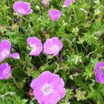 Geranium sanguineum 'Inverness' - Ooievaarsbek - Geranium sanguineum 'Inverness'