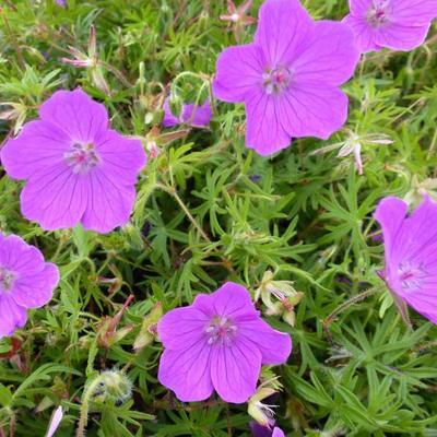 Geranium sanguineum 'Vision' - Ooievaarsbek - Geranium sanguineum 'Vision'
