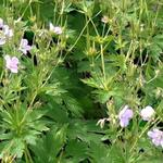 Geranium sylvaticum f. roseum - Ooievaarsbek - Geranium sylvaticum f. roseum