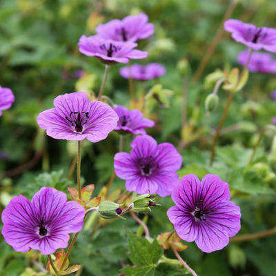 Geranium wallichianum CENSATION 'Daily Purple' -