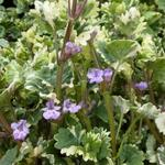 Glechoma hederacea 'Variegata' - Hondsdraf - Glechoma hederacea 'Variegata'