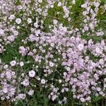 Gypsophila 'Rosenschleier' - Gipskruid - Gypsophila 'Rosenschleier'
