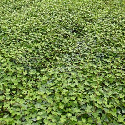 Hedera helix subsp. hibernica -